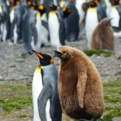 King penguin. Adult followed by one year old chick. Fortuna Bay, South Georgia, December 2015. Image © Cyril Vathelet by Cyril Vathelet