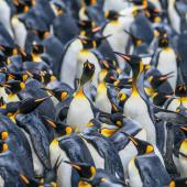 King penguin. Breeding colony. Sandy Bay, Macquarie Island, January 2018. Image © Mark Lethlean by Mark Lethlean