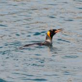 King penguin. Adult swimming. Fortuna Bay, South Georgia, December 2015. Image © Cyril Vathelet by Cyril Vathelet