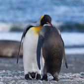 King penguin. Pair preening. Macquarie Island, November 2011. Image © Sonja Ross by Sonja Ross