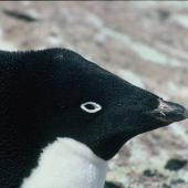 Adelie penguin. Incubating adult. Hop Island, Prydz Bay, Antarctica, November 1989. Image © Colin Miskelly by Colin Miskelly