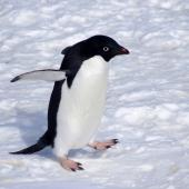 Adelie penguin. Adult. Gould Bay, Weddell Sea, November 2014. Image © Colin Miskelly by Colin Miskelly