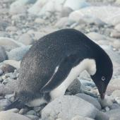 Adelie penguin. Adult. King George Island, South Shetland Islands, December 2008. Image © Alan Tennyson by Alan Tennyson