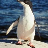 Adelie penguin. Fledgling. Hop Island, Prydz Bay, Antarctica, February 1990. Image © Colin Miskelly by Colin Miskelly