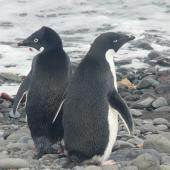 Adelie penguin. Adults. King George Island, South Sandwich Islands, December 2008. Image © Alan Tennyson by Alan Tennyson