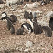 Adelie penguin. Colony with adults and chicks. Paulet Island, Antarctic Peninsula, January 2016. Image © Rebecca Bowater  by Rebecca Bowater FPSNZ AFIAP www.floraandfauna.co.nz