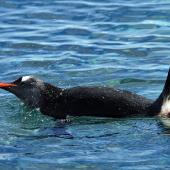 Gentoo penguin. Adult on water. Antarctic Peninsula, December 2006. Image © Nigel Voaden by Nigel Voaden http://www.flickr.com/photos/nvoaden/