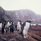Gentoo penguin. Adult with erect-crested penguins. Anchorage Bay, Antipodes Island, November 1995. Image © Alan Tennyson by Alan Tennyson