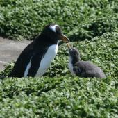 Gentoo penguin. Adult and chick. Macquarie Island, November 2011. Image © Detlef Davies by Detlef Davies