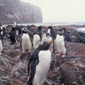 Gentoo penguin. Adult. Anchorage Bay, Antipodes Island, November 1995. Image © Alan Tennyson by Alan Tennyson