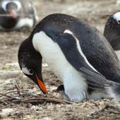 Gentoo penguin. Adult at nest, with egg and first born chick. Grave Cove, Falkland Islands, December 2015. Image © Cyril Vathelet by Cyril Vathelet