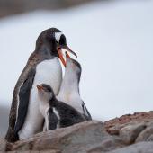 Gentoo penguin. Adult feeding chicks on nest. Petermann Island, Antarctic Peninsula, February 2015. Image © Tony Whitehead by Tony Whitehead www.wildlight.co.nz