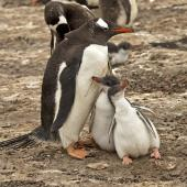Gentoo penguin. Adult with 2 chicks. Saunders Island, Falkland Islands, January 2016. Image © Rebecca Bowater  by Rebecca Bowater FPSNZ AFIAP www.floraandfauna.co.nz