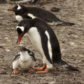 Gentoo penguin. Adult after feeding chick. Saunders Island, Falkland Islands, January 2016. Image © Rebecca Bowater  by Rebecca Bowater FPSNZ AFIAP www.floraandfauna.co.nz