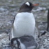 Gentoo penguin. Adult with chick and an egg. Paulet Island, Antarctic Peninsula, January 2016. Image © Rebecca Bowater  by Rebecca Bowater FPSNZ AFIAP www.floraandfauna.co.nz