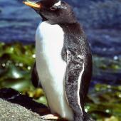 Gentoo penguin. Vagrant adult. Snares Islands, December 1985. Image © Colin Miskelly by Colin Miskelly