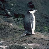 Chinstrap penguin. Adult (first New Zealand record). Antipodes Island, November 1978. Image © Department of Conservation ( image ref: 10028206 ) by John Kendrick. Courtesy of Department of Conservation