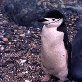 Chinstrap penguin. Adult (first New Zealand mainland record). Near Invercargill, December 1980. Image © Graham Barwell by Charles Barwell