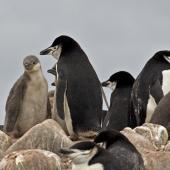 Chinstrap penguin. Adults with chicks. Hardy Cove, South Shetland Islands, January 2016. Image © Rebecca Bowater  by Rebecca Bowater FPSNZ AFIAP www.floraandfauna.co.nz
