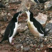 Chinstrap penguin. Adults displaying at nest with eggs. Half Moon Island, South Shetland Islands, December 2007. Image © Colin Miskelly by Colin Miskelly