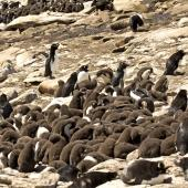 Western rockhopper penguin. Large creche with adults around the edge. Saunders Island,  Falkland Islands, January 2016. Image © Rebecca Bowater  by Rebecca Bowater FPSNZ AFIAP www.floraandfauna.co.nz