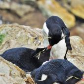 Western rockhopper penguin. Pair allopreening. New Island, Falkland Islands, December 2015. Image © Cyril Vathelet by Cyril Vathelet