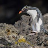 Eastern rockhopper penguin. Adult hopping showing black soles to pale pink feet. Auckland Island, January 2016. Image © Tony Whitehead by Tony Whitehead www.wildlight.co.nz