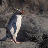 Eastern rockhopper penguin. Adult. Auckland Island, January 2016. Image © Tony Whitehead by Tony Whitehead www.wildlight.co.nz