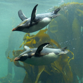 Moseley's rockhopper penguin. Adults swimming. Two Oceans Aquarium, Cape Town, November 2015. Image © Alan Tennyson by Alan Tennyson