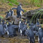 Moseley's rockhopper penguin. Adults returning to colony. Nightingale Island, March 2016. Image © Gordon Petersen by Gordon Petersen © Gordon Petersen, petersenphoto.com