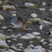 Buff-breasted sandpiper. Juvenile or non-breeding adult. Ashley estuary,  Canterbury, November 2019. Image © Kelly Johnson by Kelly Johnson