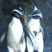 Fiordland crested penguin. Courting pair. Oban, November 2020. Image © Paul Peychers by Paul Peychers Dracophyllum presentation