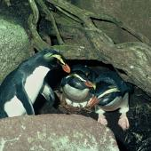 Fiordland crested penguin. Adults at nest with eggs. Open Bay Islands. Image © Department of Conservation ( image ref: 10030979 ) by P. Thomson Courtesy of Department of Conservation