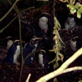 Fiordland crested penguin. Moulting adults (immature bird in centre). Codfish Island, February 2004. Image © Ingrid Hutzler by Ingrid Hutzler