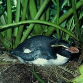 Snares crested penguin. Adult on nest. Snares Islands, November 1983. Image © Department of Conservation ( image ref: 10033368 ) by Rod Morris Courtesy of Department of Conservation