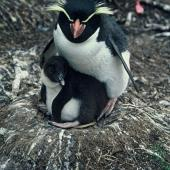 Snares crested penguin. Adult and chick. Snares Islands. Image © Department of Conservation ( image ref: 10048612 ) Courtesy of Department of Conservation