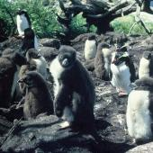 Snares crested penguin. Chicks at creche stage. North East Island, Snares Islands, December 1982. Image © Colin Miskelly by Colin Miskelly