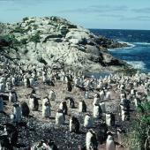 Snares crested penguin. Moulting pre-breeders. North East Island, Snares Islands, February 1984. Image © Colin Miskelly by Colin Miskelly