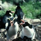 Snares crested penguin. Adult pair vocalising with young chicks. North East Island, Snares Islands, November 1985. Image © Colin Miskelly by Colin Miskelly
