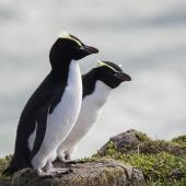 Snares crested penguin. Adult female (right) with adult female erect-crested penguin (left). Pipikaretu Beach, March 2020. Image © Oscar Thomas by Oscar Thomas @OscarKokako