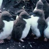 Snares crested penguin. Downy chicks. Station Point, Snares Islands, December 1986. Image © Alan Tennyson by Alan Tennyson
