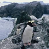 Snares crested penguin. Adult and downy chick. Toru Islet, Snares Western Chain, February 1986. Image © Alan Tennyson by Alan Tennyson Alan Tennyson
