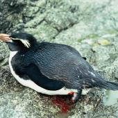 Snares crested penguin. Adult with amputated foot. Station Cove, The Snares, December 1985. Image © Alan Tennyson by Alan Tennyson Alan Tennyson