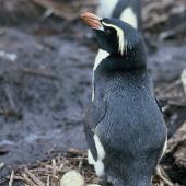 Snares crested penguin. Adult with 2 eggs. Snares Islands, November 1986. Image © Alan Tennyson by Alan Tennyson