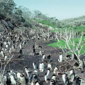 Snares crested penguin. The largest colony. Sinkhole Flat, The Snares, January 1986. Image © Alan Tennyson by Alan Tennyson