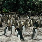 Snares crested penguin. Colony with large chicks. The Snares. Image © Alan Tennyson by Alan Tennyson Alan Tennyson