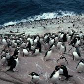Snares crested penguin. Birds on landing rocks. Penguin Slope, The Snares, December 1985. Image © Alan Tennyson by Alan Tennyson Alan Tennyson