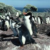Snares crested penguin. Adult with fully grown chicks. Above Sinkhole Flat, The Snares, January 1986. Image © Alan Tennyson by Alan Tennyson