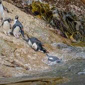 Snares crested penguin. Group entering the sea. Penguin Slope, Snares Islands, January 2016. Image © Tony Whitehead by Tony Whitehead Photo by Tony Whitehead www.wildlight.co.nz