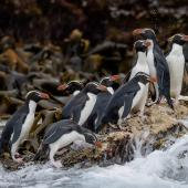Snares crested penguin. Group on a wave washed rock. Snares Islands, January 2016. Image © Tony Whitehead by Tony Whitehead www.wildlight.co.nz